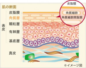 肌の構造2